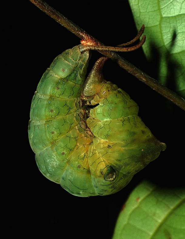 Green caterpillar with horns on its head and eyespots is hanging from a twig and curled up.