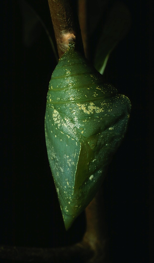 Closeup of a bright green chrysalis, that is, a butterfly pupa, hanging from a small pad of silk on a twig.