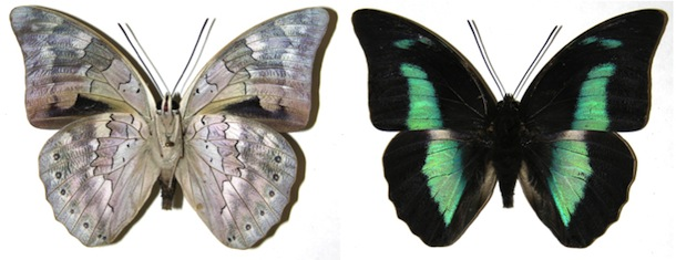 Archaeoprepona pinned butterfly, underside to the left and topside on the right.