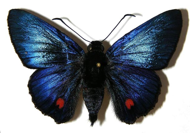 Adult of the previous caterpillar, wings spread.  Iridescent blue-black with black border to wings and a bright red circular spot on hindwings