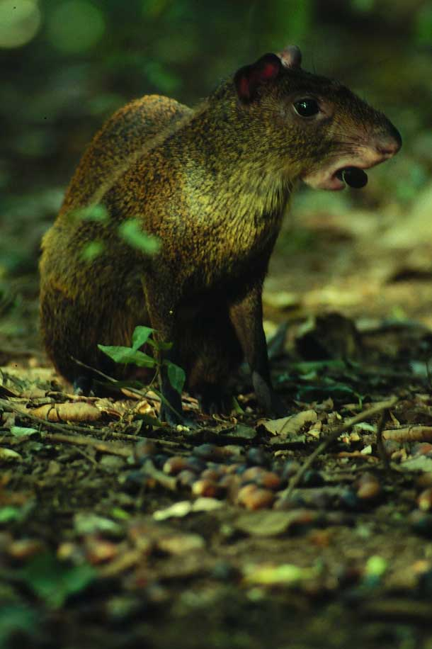 Sitting agouti with acorn carried between her incisors