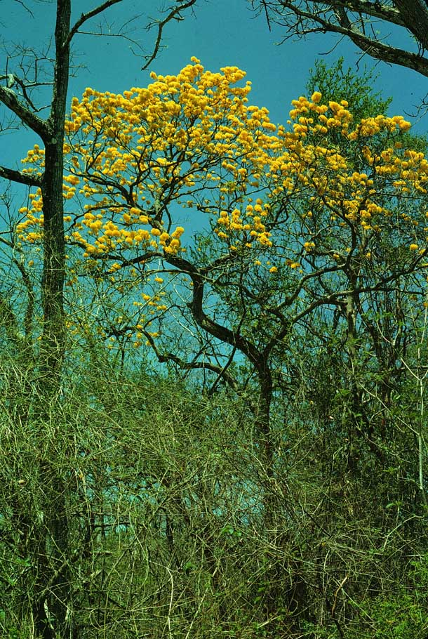Bright yellow large blooms in tree canopy against blue sky
