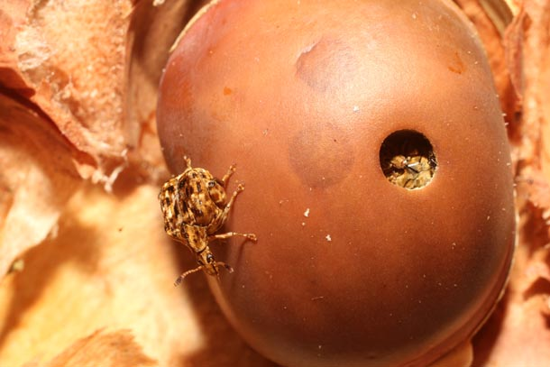 Large brown rounded seed with perfectly circular hole, and a stout squarish beetle the size of the hole standing on seed