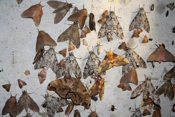 Closeup of very large and small moths sitting on a hanging sheet