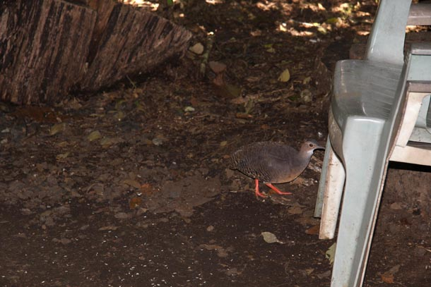A tinamou, looking somewhat like a gray chicken with red legs, at the base of a plastic chair in a yard
