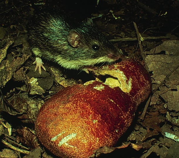 Liomys mouse at night with large hard seed pod of Hymenaea courbaril