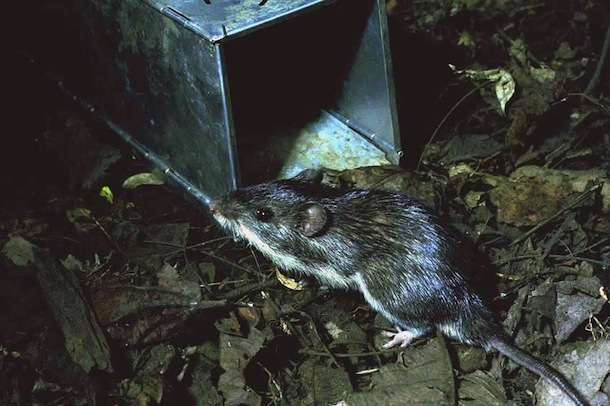Large male mouse inspecting open trap at night.