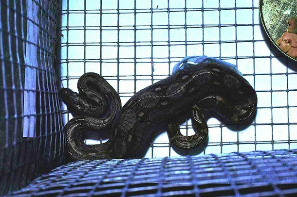 Boa coiled in mouse cage with large lump of swallowed mouse.