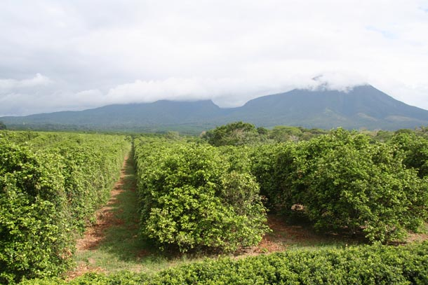 Large orchard of orange trees; forest and Volcan Orosi of ACG in distance