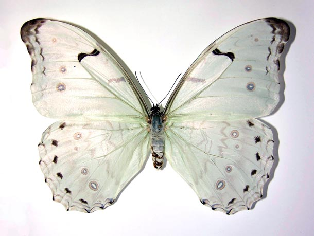White butterfly with huge white wings, Morpho catalina