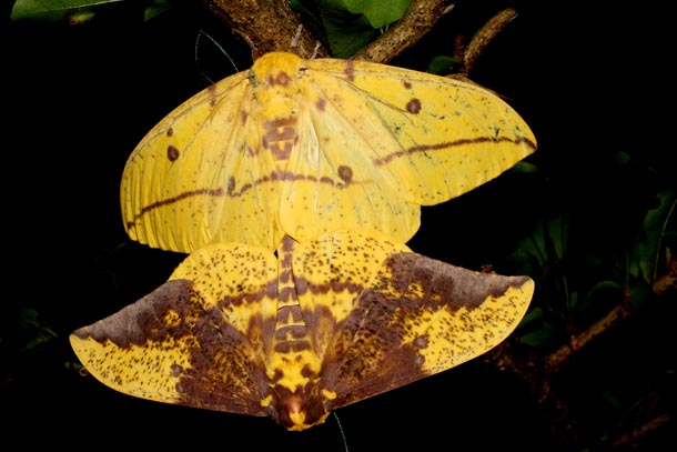 2 mating moths, colored deep yellow and purple, of Eacles imperialis