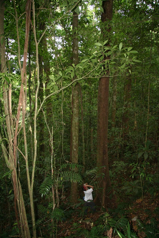 Forest of tall trees, with a person who is dwarfed by the height of the tree trunk