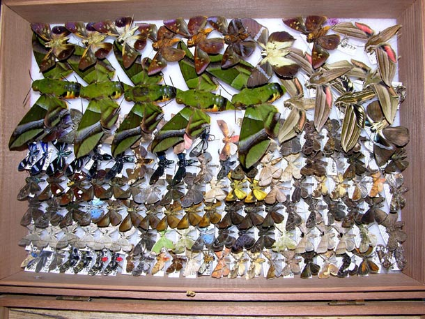 Moths and butterflies of many sizes, colors, and shapes, pinned and tightly shingled in a box