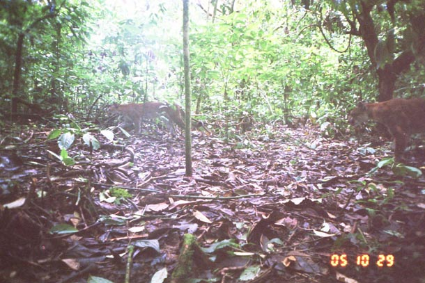 Trail camera photo of 2 pumas (mountain lion) in forest