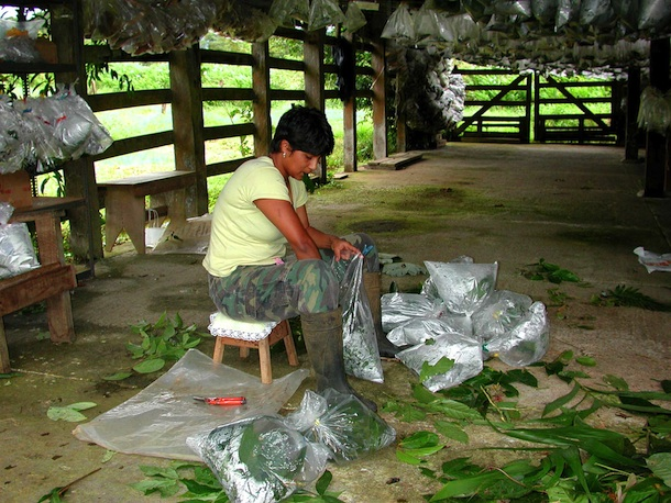 Long open building with leaves on the floor, parataxonomist putting fresh leaves in plastic bags of caterpillars.