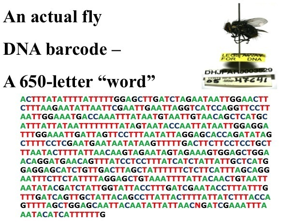 A fly on a pin along with a printout of its barcode with the letters ATCG representing the nucleic acids.