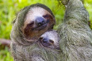 Sloth Mama
