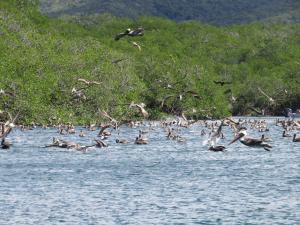 Pelicans Bahia Santa Elena