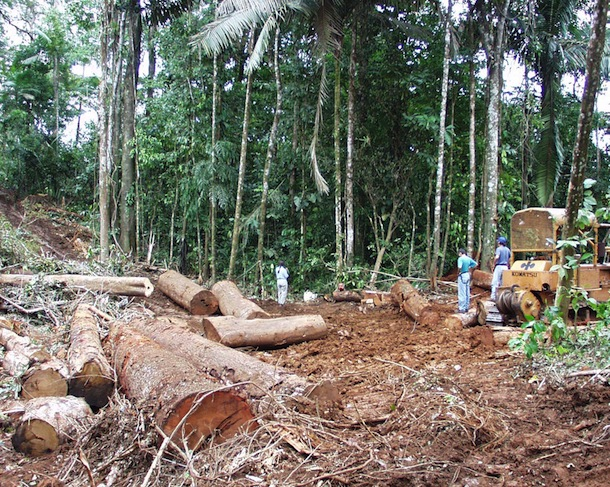 Large tree trunks lying in bulldozed mud cut from forest, visible behind